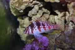 Peixes vermelhos no aquário marinho Fotos de Stock Royalty Free