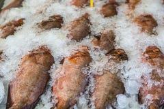 Peixes vermelhos no gelo Fotos de Stock
