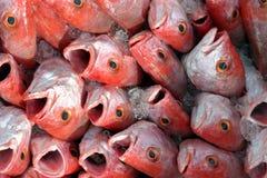 Peixes vermelhos tropicais imagens de stock