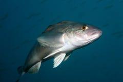 Peixes vivos no mar de japão Imagens de Stock