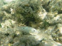 Peixes Wayack no mar das caraíbas Fotografia de Stock
