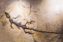 Pekín China, el 16 de octubre de 2018: fósil del terodactyl, Pterodactilus Spectabilis, fósil de animales prehistóricos, fósil fotografía de archivo