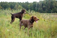 Peka hundkapplöpning på jakten Royaltyfri Fotografi