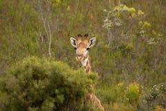 Pekaboo giraffe: super cute and funny female baby girafee, peeking thorugh the african bush royalty free stock image