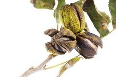 Pekannüsse auf einem Baumzweig mit Blättern Stockfotos
