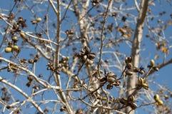 Pekannuss-Obstgarten im Winter Lizenzfreies Stockfoto