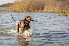 Pekarehund som kör i grunt vatten med pinnen i mun royaltyfria bilder