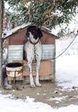 Pekarehunden står framme av hans hundkoja i vinter Royaltyfri Fotografi