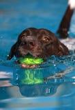 Pekarehundsimning med hans boll Royaltyfri Fotografi