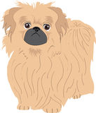 Pekignese-Hund Lizenzfreies Stockbild