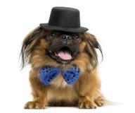 Pekinés con una corbata de lazo y un sombrero de copa, mintiendo y jadeando Foto de archivo libre de regalías