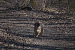 Pekinés de la raza del perro en el parque foto de archivo libre de regalías