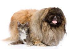 Pekinés y gato mullidos junto Aislado en el fondo blanco Fotos de archivo