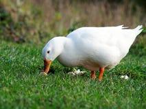 Pekin鸭子用在草的面包 免版税图库摄影