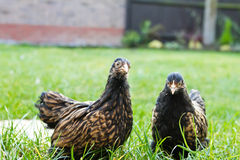 Pekin Bantams Stock Foto