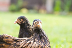 Pekin Bantams Stock Photography