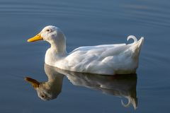 Pekin duck also known as Long Island or Aylesbury duck on a still calm lake with reflection in the water royalty free stock photo