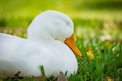 Pekin Duck with eyes closed. Close up portrait on a pekin duck sitting in grass with eyes closed on a sunny day in Florida royalty free stock photos