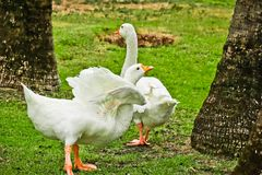 Pekin duck in the park stock images