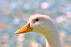 Pekin duck portrait in profile. Pekin duck (Ana's platyrhynchos) in profile, close up Royalty Free Stock Photos