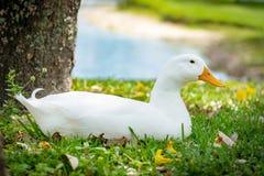Pekin duck sitting in grass with pond in background. Full body side view of a pekin duck sitting in grass with pond in background, eyes open Stock Image