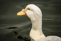 Pekin duck is swinging stock image