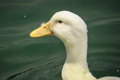 Pekin duck is swinging stock image
