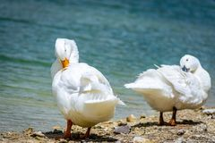 Pekin ducks by a pond scratching. Two pekin ducks standing by a pond using their beaks to scratch their backs Stock Images