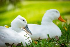 Pekin Ducks side by side sitting in grass. Close up portrait on two pekin ducks side by side sitting in grass, one with gray beak the other with orange beak stock images