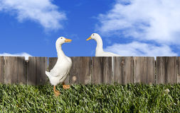 Pekin Ducks Talking over Fence. Two white Pekin ducks chatting over a wooded fence much like neighbors sharing a bit of gossip or news. The Pekin Duck, also Royalty Free Stock Photo