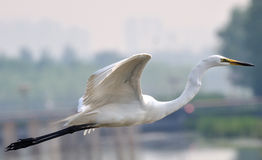 Pekin Egrets Obrazy Royalty Free