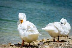 Pekin-Enten durch ein Teichverkratzen Stockbilder