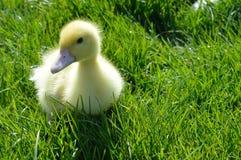 Pekin kaczątko w trawie Zdjęcia Stock