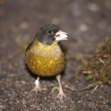 Pekin nightingale - Leiothrix lutea Royalty Free Stock Photo