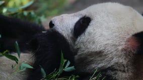 Pekin Olimpijska panda przy łasowanie czasem HD zbiory