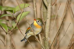 Pekin Robin. A Pekin Robin from Southern Asia Royalty Free Stock Photo