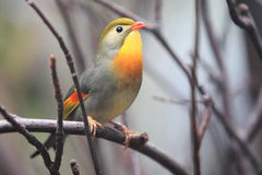 Pekin robin Stock Photo