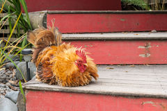 Pekin rooster sitting on stairs. Picture of Pekin rooster sitting on stairs Stock Image