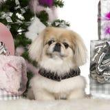 Pekinees, 6 jaar oud, met Kerstboom Stock Afbeeldingen