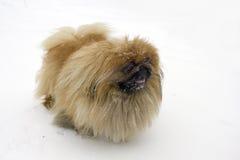 Pekinees op sneeuw Stock Foto's