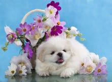 Pekinees wit puppy op een blauwe achtergrond Stock Afbeeldingen