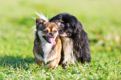 Pekines-chihuahua och en pekinesespring på ängen Fotografering för Bildbyråer