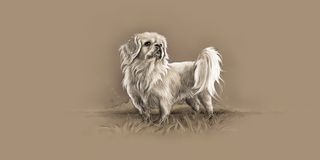 Pekinese Royalty Free Stock Photos