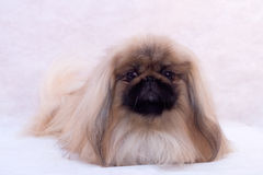 Pekinese Stock Photo