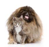 Pekinese, der Katze umarmt Getrennt auf weißem Hintergrund Stockbild