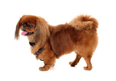 Pekinese dog Stock Photo