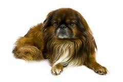 Pekinese dog Royalty Free Stock Image