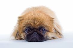 Pekinese dog Royalty Free Stock Image