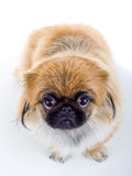 Pekinese dog Stock Images