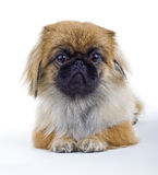Pekinese dog Royalty Free Stock Photography